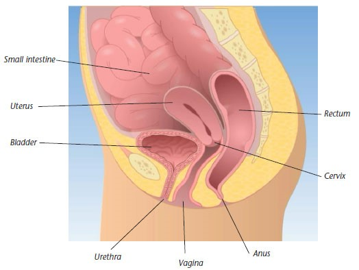pelvic organ prolapse diagram
